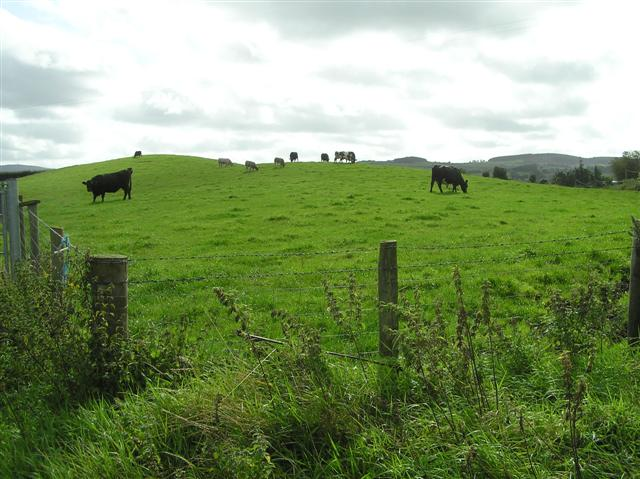 Cattle at Crew