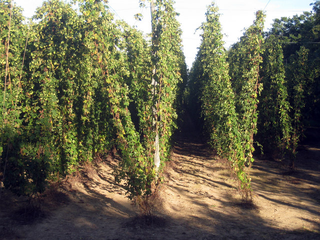 Hop Garden, Hoad's Farm - September