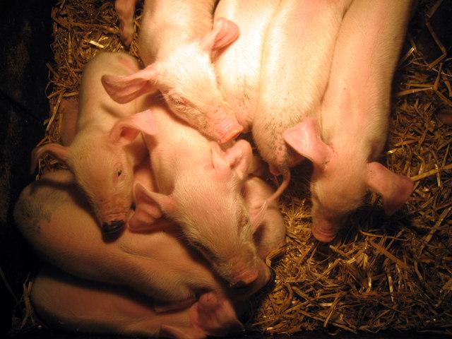 Piglets at Rare Breeds Centre, Woodchurch
