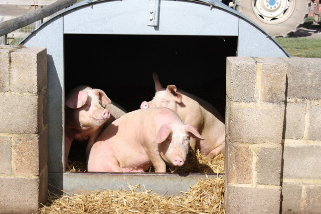 Pigs at Rare Breeds Centre, Woodchurch