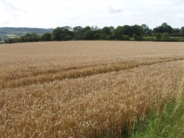 Wheat field near Tennislee Crossroads