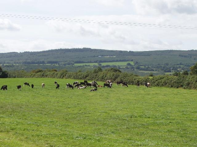 Cattle on pasture near Fiddown