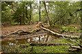 SU2606 : Warwickslade Cutting: fallen birch tree by Peter Facey