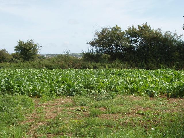 Brassica near Doomane