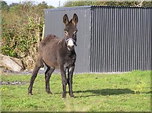 G7355 : A curious donkey by Kenneth  Allen