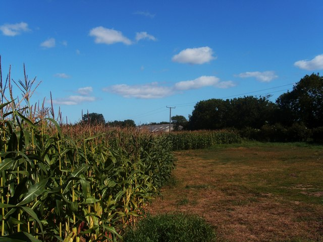 Maize crop at Beeford