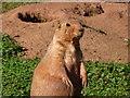 SX8759 : Paignton : Paignton Zoo, Prairie Dog by Lewis Clarke
