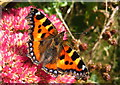 SW4032 : Small Tortoiseshell butterfly (Aglais urticae) by Rod Allday