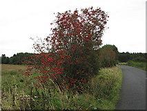 C2324 : Well berried Rowan tree by Willie Duffin