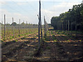 TQ8129 : Hop Garden, Hoad's Farm - After Harvest by Oast House Archive