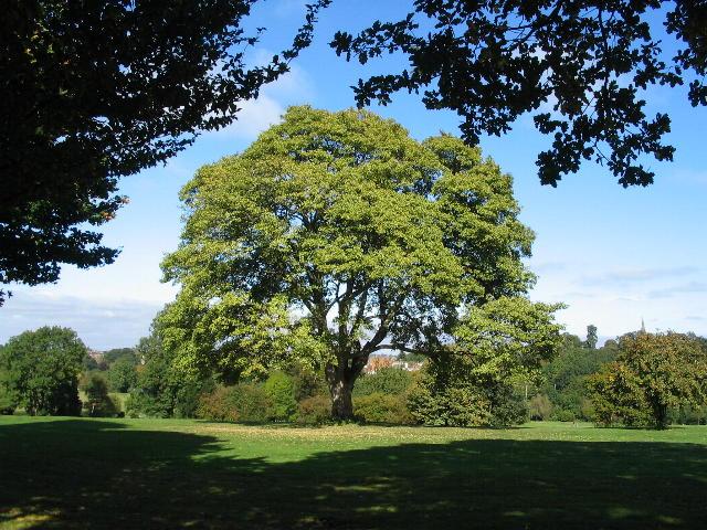 Sycamore, Allesley Park