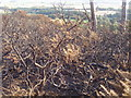 NJ5430 : Burnt-out gorse by Peter Aikman