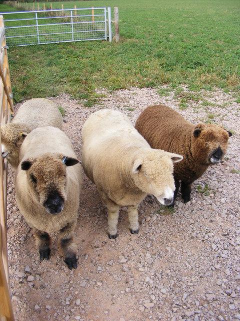 Ryeland Sheep at Mayfield's off Reepham Road