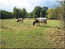 SP3177 : Cattle grazing at Canley Ford by E Gammie