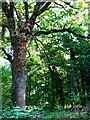 SU1789 : Oak tree in Great Wood, Stanton Park, Swindon by Brian Robert Marshall