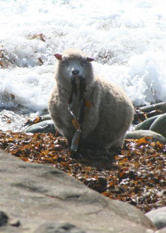 Shetland sheep eating the tang