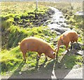 NG4968 : Pigs at Staffin by Andrea Hope