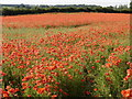 """TF8112 : This is why Norfolk is called """"Poppyland"""" by John Wernham"""