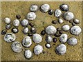 NZ4153 : Limpets on yellow rock by Andrew Curtis