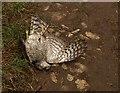 ST2825 : Dead sparrowhawk at Ham by Derek Harper