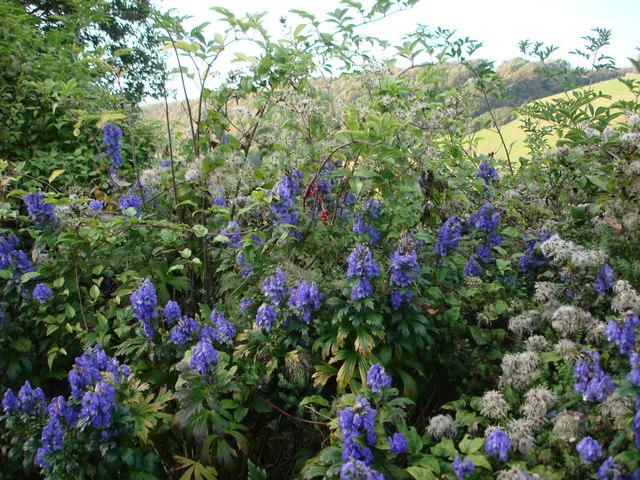 Aconite, Monkshood or Wolfsbane ( Aconitum napellus), and Black Bryony near Hillhead South Devon