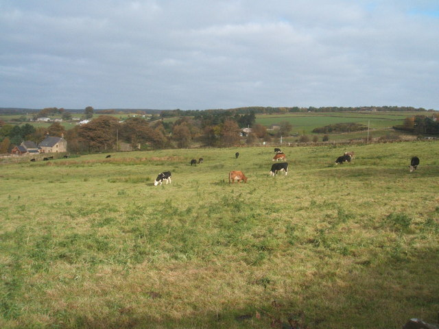 Cattle grazing, Tansley
