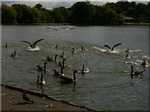 TQ2472 : Water fowl on the lake by Peter S