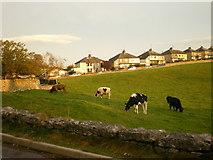 SD3876 : Cattle, Allithwaite by Alexander P Kapp