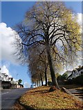 SX9065 : Trees, Old Woods Hill, Torquay by Derek Harper