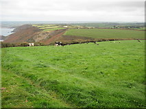 SX1799 : Cattle grazing above Bynorth Cliff by Philip Halling