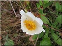 SX9066 : Rose, Barton tip by Derek Harper