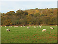 SJ7966 : Sheep in the Dane Valley by Stephen Craven