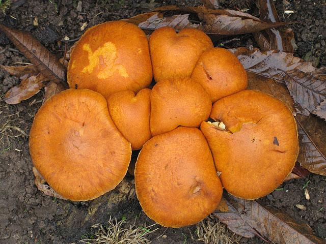 Pumpkin-coloured fungus