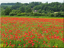 TR2954 : Field of poppies near Heronden by Nick Smith