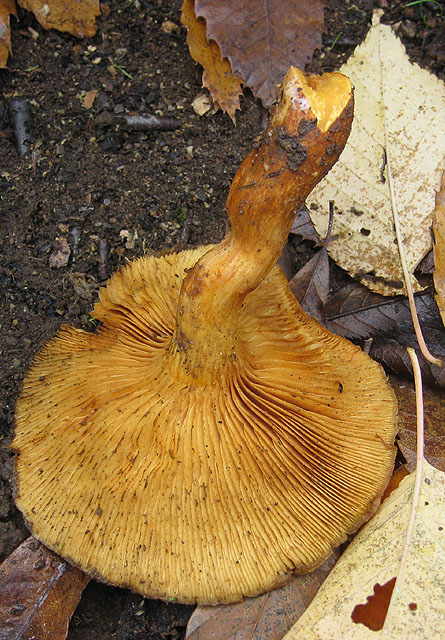 Underside of pumpkin-coloured fungus