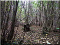 ST5574 : Old coppicing in Leigh Woods by ceridwen