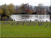 NZ2561 : Geese, Saltwell Park by Andrew Curtis