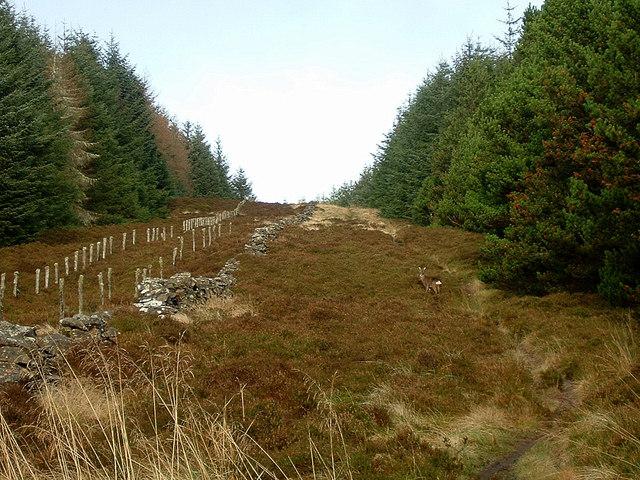 Roe deer on Caresman Hill, Glentress