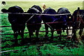 N1336 : Castledaly Manor - Cattle grazing nearby. by Joseph Mischyshyn