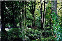 N1336 : Castledaly Manor - Woodland on grounds by Joseph Mischyshyn