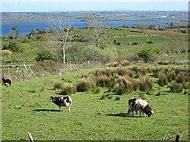 G9316 : Jacob's sheep at Timpaun by Oliver Dixon