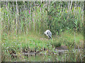 SV9110 : Heron at Lower Moors Pool, St Mary's, Scilly by John Rostron