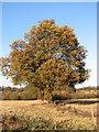 TG1804 : Autumnal oak on field boundary by Evelyn Simak