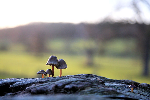 Mini mushrooms in Ickworth Park