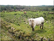 G7306 : Cattle near Derrygolagh by Oliver Dixon