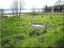 G8111 : Goat at Drumsoghla by Oliver Dixon