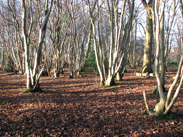Lower Wood Nature Reserve - coppiced trees