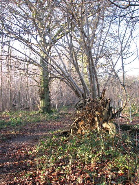 Lower Wood Nature Reserve - uprooted tree