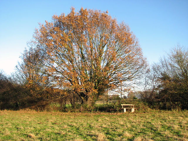Old oak in Rosemary's Meadow