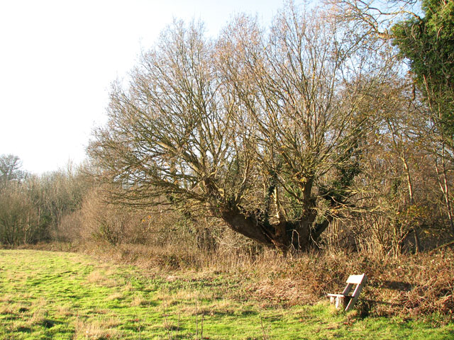 Seat by ancient oak in Rosemary's Meadow